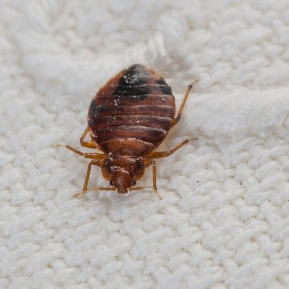 Bed Bugs, Pest Control in Kilburn, Queens Park, West Hampstead, NW6. Call Now! 020 8166 9746