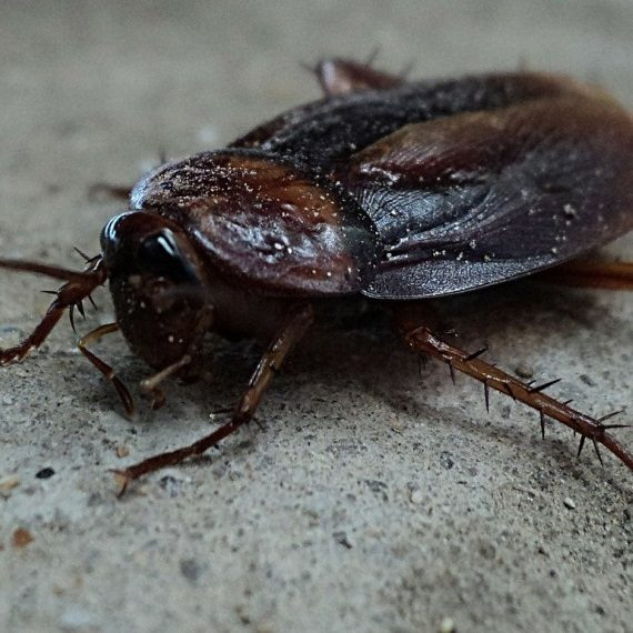 Cockroaches, Pest Control in Kilburn, Queens Park, West Hampstead, NW6. Call Now! 020 8166 9746
