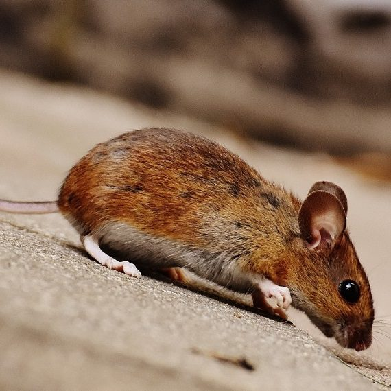 Mice, Pest Control in Kilburn, Queens Park, West Hampstead, NW6. Call Now! 020 8166 9746