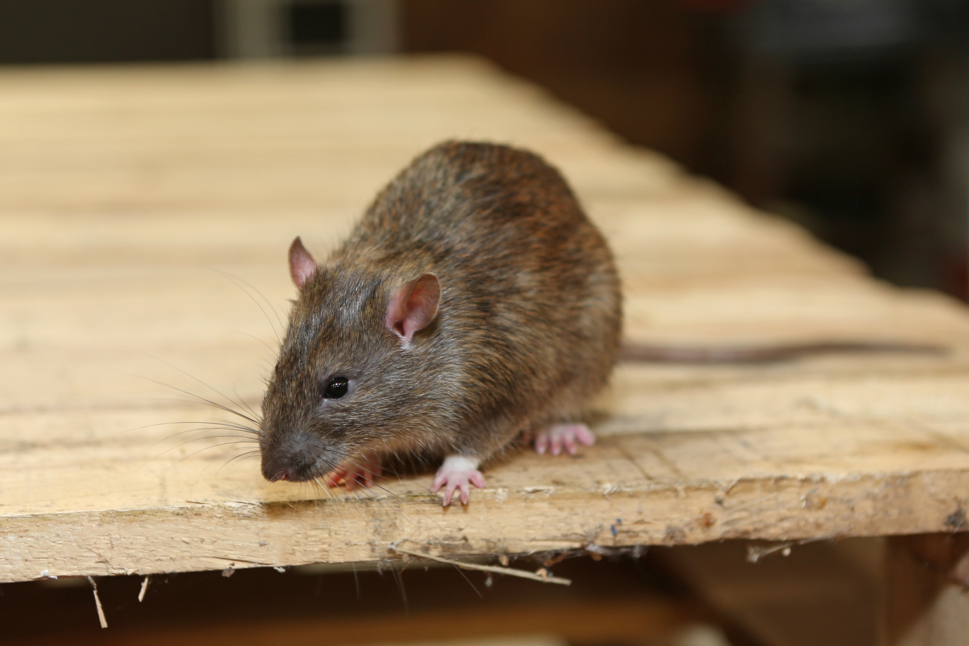Rat Infestation, Pest Control in Kilburn, Queens Park, West Hampstead, NW6. Call Now 020 8166 9746