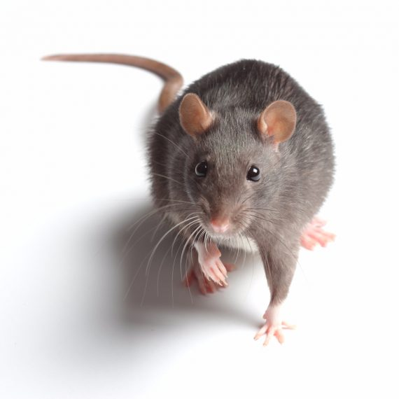 Rats, Pest Control in Kilburn, Queens Park, West Hampstead, NW6. Call Now! 020 8166 9746