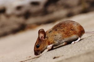 Mice Control, Pest Control in Kilburn, Queens Park, West Hampstead, NW6. Call Now 020 8166 9746
